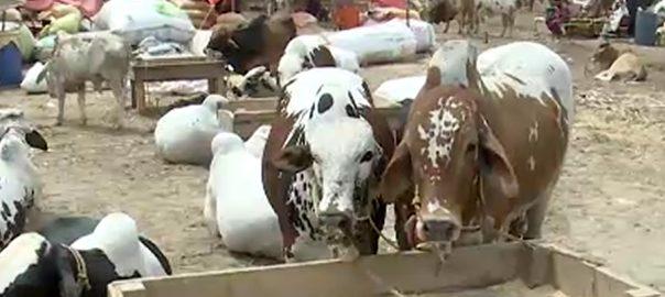 کراچی  ایشیا  مویشی منڈی  92 نیوز جانور لائیواسٹاک  میڈیکل کیمپ  نجی میڈیکل کیمپ  سپرہائی وے 