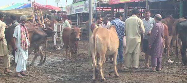 شاہ پور کانجراں  بکرے  بیل  لاہور  92 نیوز عید الاضحی
