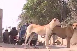 سندھ  آوارہ کتے تلف  کراچی  92 نیوز روز بروز عدم تحفظ