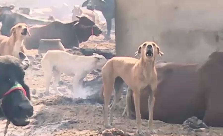 سندھ میں آوارہ کتوں کی یلغار ،  شہری شدید خوف و ہراس کا شکار