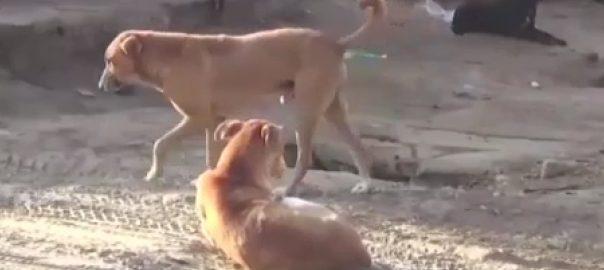 میرپور خاص  سگ گزیدگی  92 نیوز سندھ  کتوں کی بہتات