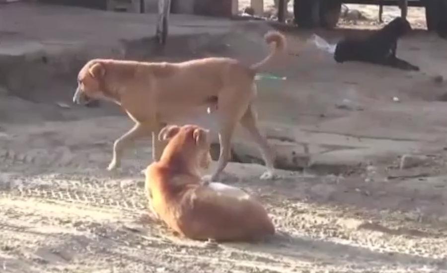 دادو میںآوارہ کتوں نے خاتون سمیت 9افراد کو کاٹ لیا