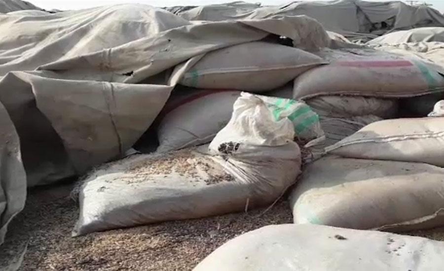 قمبر کے وارہ فوڈ گودام میں گندم کھلے آسمان تلے خراب ہونے لگی