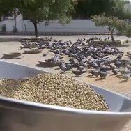 کورونا وائرس ، کراچی ، بسیرا ، کبوتر ، دانے دانے ، ترسنے