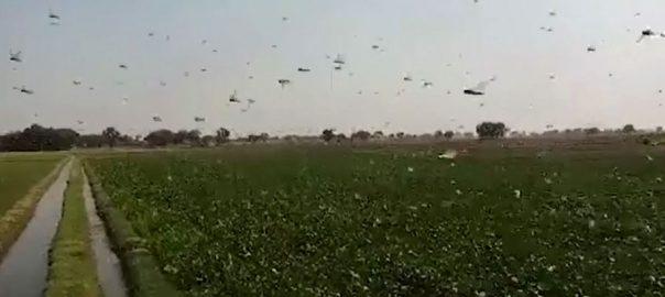 پنجاب ، سندھ ، 15 اضلاع ، ٹڈی دل حملوں ، متاثر ، فصلوں کو نقصان ، رحیم یار خان ، 92 نیوز