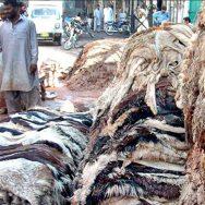 سندھ حکومت ، بغیر اجازت ، جانوروں کے کھالیں ، جمع کرنے پر پابندی ، محکمہ داخلہ سندھ ، نوٹیفکیشن ، کراچی ، 92 نیوز