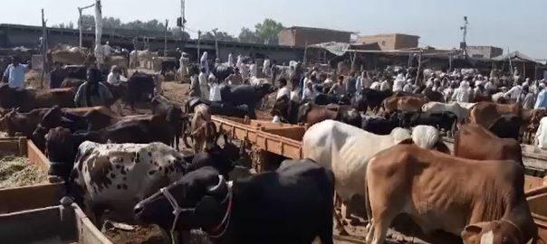 پشاور ، حکومتی گائیڈ لائنز ، خلاف ورزی ، مویشی منڈیاں ، سجا دی گئیں ، 92 نیوز